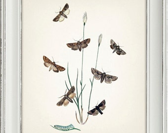 Moth Series no.6  - 8x10 - Fine art print of a vintage natural history antique illustration