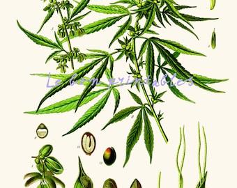 Cannabis sativa vintage printable art print 8x11 instant download