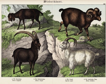 1886 Gorgeous large GOAT print, fine chromolithograph, RUMINANTS, original antique  126 years old print