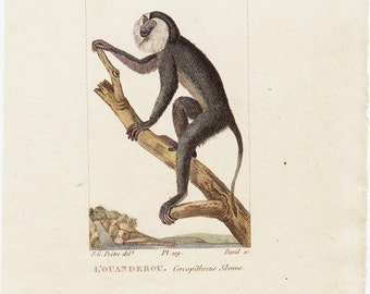 1830 Antique SUN TAILED MONKEY engraving, guenons,  a Old World monkey species,  Original antique hand colored 183 years old rare print