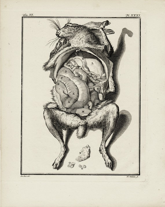 Rabbit Anatomy Engraving