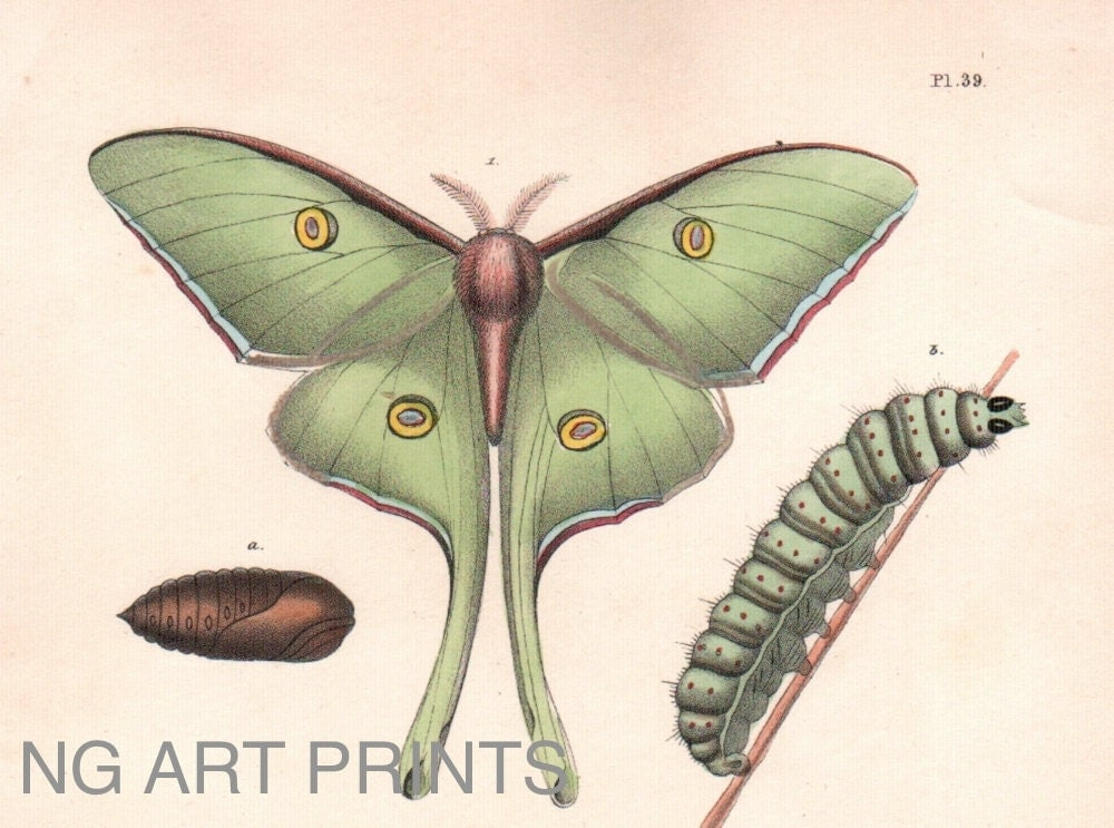 Luna moth scientific illustration - photo#15