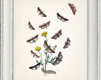 Moth Series no.3  - 8x10 - Fine art print of a vintage natural history antique illustration