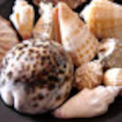 seashellsupply