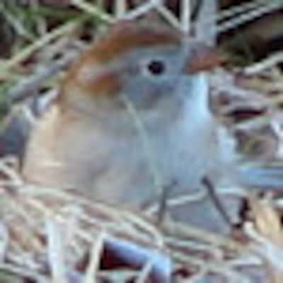 NestingFieldSparrow