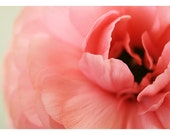 Ranunculus - Photography - Flower Photograph - Nature Photography - La Fleur -  Spring - Original Fine Art Photograph - Pink - Floral  Art