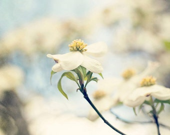 spring flower photography white home decor square landscape photograph blue decor Dogwoods no 1