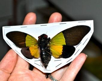 OVERSTOCK: spread real Cicadas Trengganua sybylla