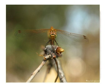 Dragonfly  Photograph Print...Affordable Art Nature Decor Woodland Forest Scene Water Insect  Odonata Epiprocta