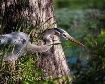 Great Blue Heron Fine Art Photograph 8x10