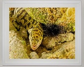 Chain Moray Eel in Coral Reef, Underwater Photography, Ocean, Fish, Nautical and Beach Decor, 8x10 Fine Art Metallic Print