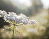 Digital Photo Download Queen Annes Lace in Summer