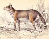 Antique Canine Dog Print . Common Jackal . Sacalius aureus . Vol I . original old engraving art vintage plate circa 1850