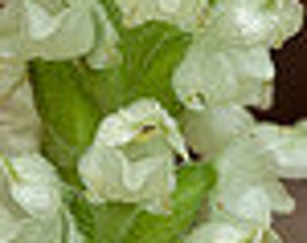 12 foam flower root systems,Tiarella trifoliata