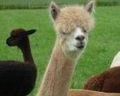 Huacaya Alpaca Fiber, 16 Ounces, Natural Light Fawn, Spinning and Felting, Willow