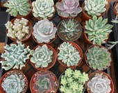 8 Large Succulent Plants, A Nice Collection, Great For Home Decor, Centerpieces, Living Wall Frames, Garden Wedding,  From 4 Inch Pots