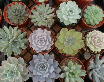 REserved For Sarah, 40 Large Succulents, ROSETTES, Bouquets, Wedding Decor And Centerpieces, TOP QUALITY