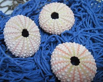 Beach Sea Urchins Natural Genuine Pink and Green Sea Urchins 478