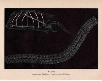 1897 SEAPENS deep sea fauna print original antique ocean life lithograph