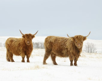 Animal Photography Cow Photography Scottish Highland Cows in the Snow