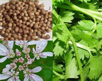 Cilantro, 'Tasty Greens' Cilantro Seed  Mix - 4 Varieties in 1 - Organic Cilantro Coriander