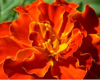 Marigold, Brocade Mix French Marigold Seeds