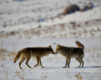 Coyotes in Love, Wildlife Photography, Woodland, Fine Art Photo, Nature Photo
