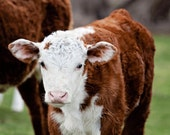 Baby Animal Photograph, Red Coat Cattle, Farm Animal Photography