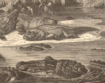 1892 Black Caiman, Melanosuchus Niger Original Antique Engraving to Frame