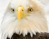 Bald Eagle Photography, Fathers Day, yellow, brown feathers, Wildlife eagle Art, gift for him, eagle eyes