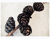 Cones - simple nature fine art photography of cones - brown, beige, botanical - 5x7 print