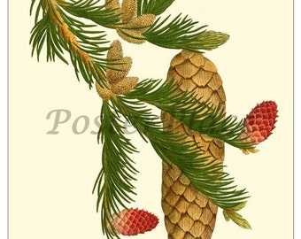 ART CARD - Norway Spruce botanical print reproduction 495