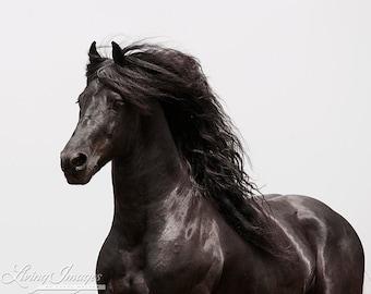 The Friesian - Fine Art Horse Photograph - Horse - Friesian