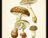 Antique French Mushroom Series 2 Plate 7 Botanical Art Print 8x10 Home Decor Home and Garden