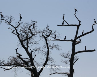 Cormorants in Sihloutte - Chickahominy River, Virgina
