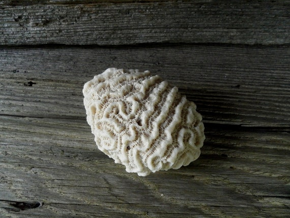 Brain Coral Specimen - Natural Science Ocean Specimen