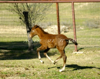 Playful Foal testing her legs from a Cutting Horse Ranch 5x7 photo greeting card