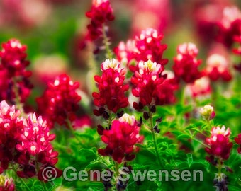 Texas Red Bonnet Flowers - Available Sizes (5x7) (8x12) (12x18) (16x24) (20x30) (24x36)