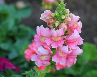 Heirloom 5500 Seeds Antirrhinum majus Snapdragon Pink Garden Flower Bulk Seeds B6009