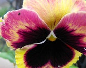 On Sale 8x10 Photography Springtime Pink and Yellow Pansy Flower Wall Art Print