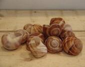 Snail Shells 1 dozen