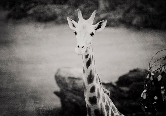 Black And White Giraffe Photo