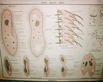 Vintage Zoology Chart Jurica Biology Series Protozoa Infusoria Cillata Paramecium Nystrom