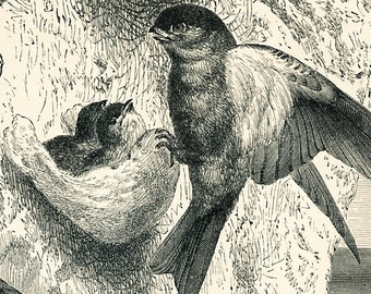 Swift print  glossy swiftlets and their edible nests print  swifts natural environment print : Antique 19th century engraving old book plate