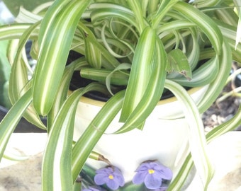 "Rare ""Crazy Curly Bonnie""  Variegated Spider Plant /Clean Air/Air Purifier Air Plane plant / chlorophytum comosum/ fairy garden plant"