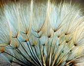 """Nature Photography Dandelion Seeds Natural Colors Fine Art Home Decor """"Almost Gone"""""""