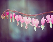 """MOTHERS DAY SALE - Flower Photography Vintage Pink Home Decor 8x12 Print """"Bleeding Heart"""""""