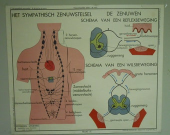 Vintage Belgian Two-Sided Anatomy School Chart (Skin and Sympathetic Nervous System)