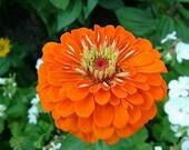 Zinnia Oriole, Bright Orange Flowers, Garden Seeds, Attract Butterflies