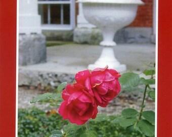 Diamond Cove rose - Photo card